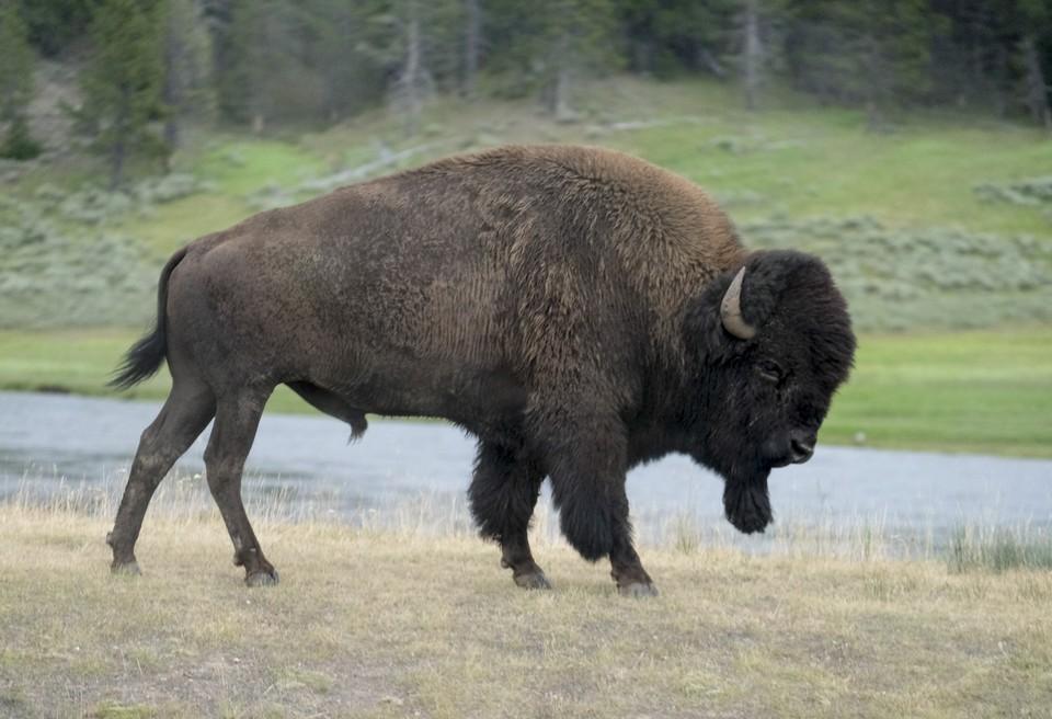 Помимо отстрела в качестве мер по сокращению популяции бизонов рассматриваются и другие методы.