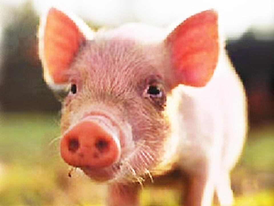 Свиной грипп не утихает
