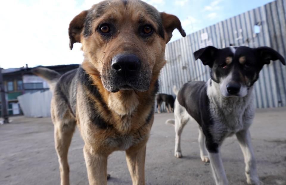В Солнечном районе Хабаровского края свирепствуют бездомные псы