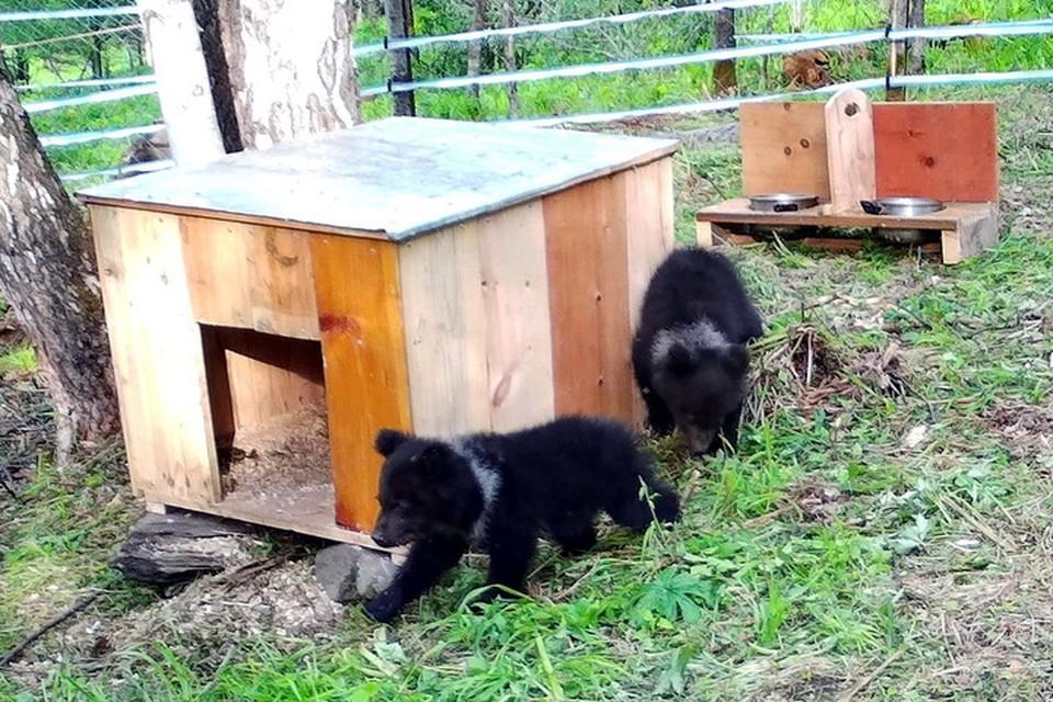 На содержание в заповедник взяли двух медвежат - Мишу и Машу. Фото: Алтайский биосферный заповедник