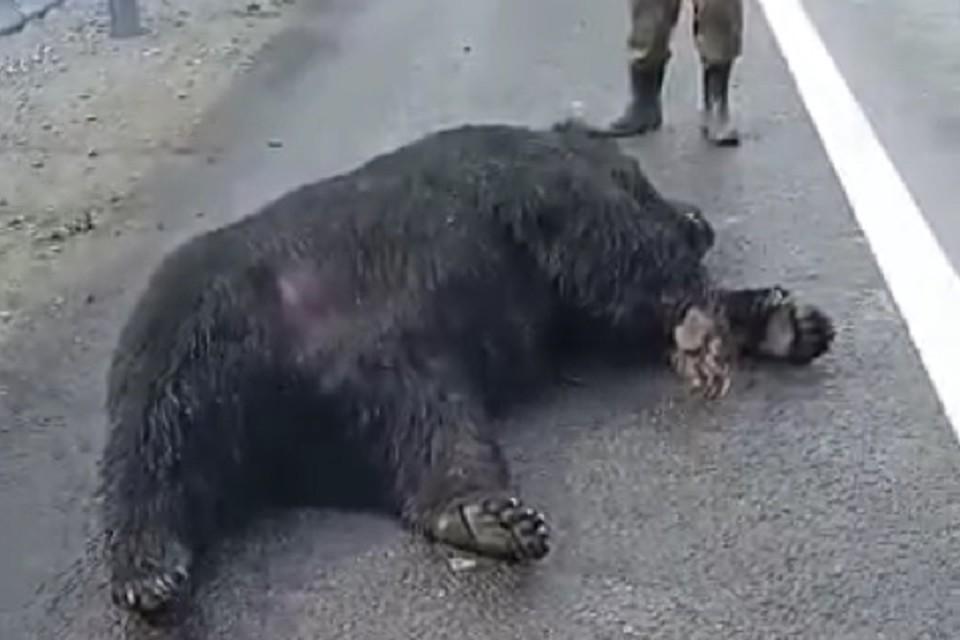 Сбили и вырвали коготь: на объездной дороге Хабаровска погиб бурый медведь. Фото: скриншот с видео.