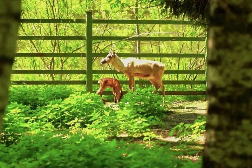 Детеныши лесных северных оленей родились в Московском зоопарке. Фото: mos.ru, пресс-служба Московского зоопарка