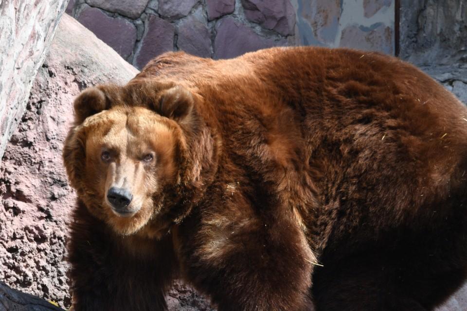 Так зарычал, что все бросились наутек: голодный медведь испугал могильщиков на кладбище в Усть-Куте
