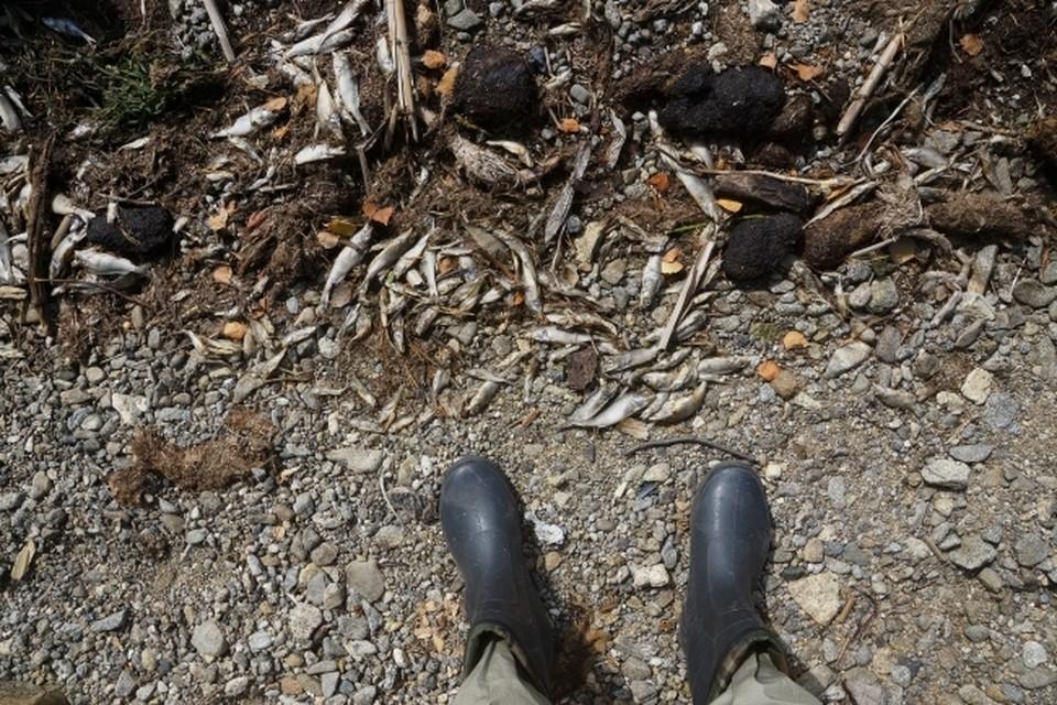 К массовому мору рыбы в Смоленской области привел «аварийный сброс стоков».