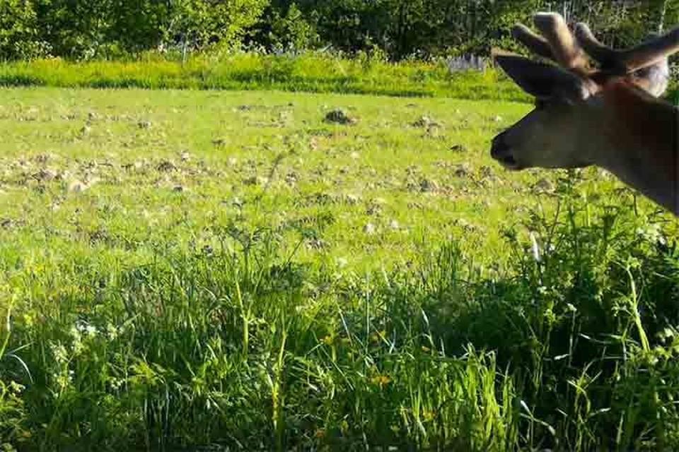 Детеныш оленя попал в фотоловушку в Смоленском Поозерье. Фото: Сергей Прокофьев.