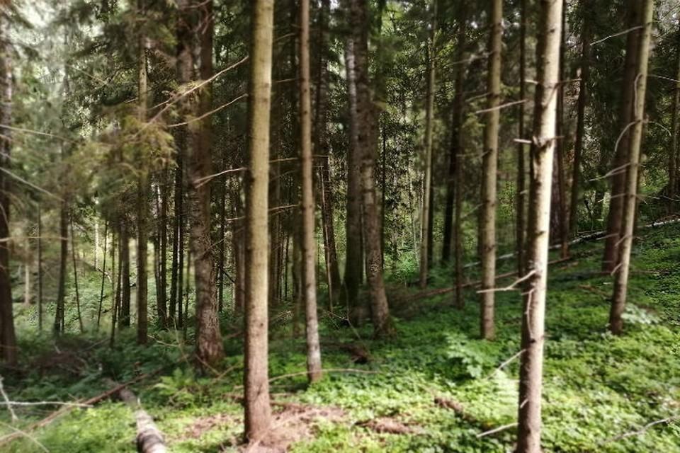 Рыбинец может сесть на 7 лет за незаконную вырубку почти тысячи деревьев