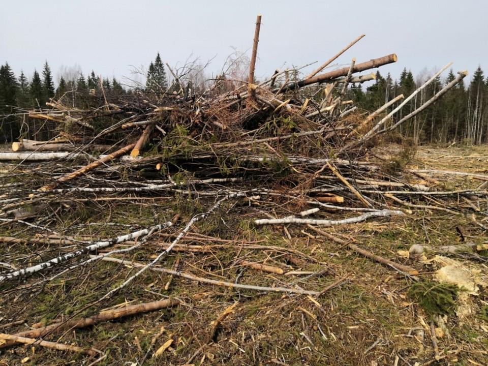 Мужчина напилил леса на 10 миллионов рублей Фото: УМВД России по Тверской области