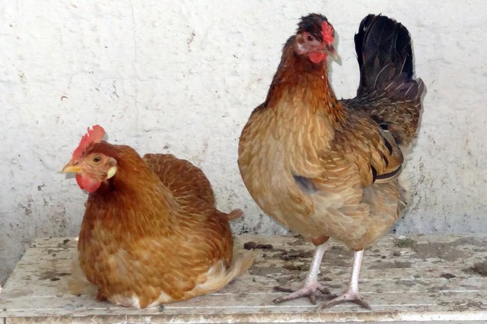 Из деревни нельзя вывозить яйца, птицу и другие продукты