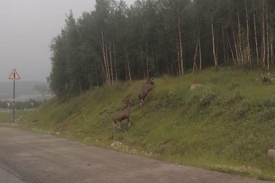 Лоси частенько любят выбегать на трассы в Мурманской области.