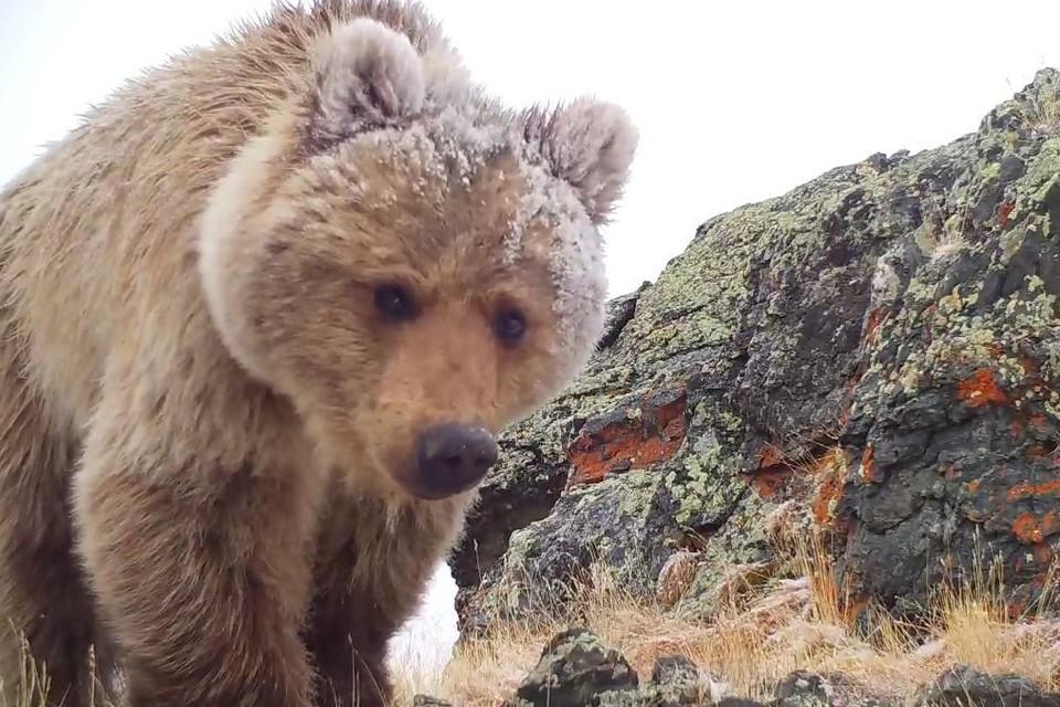 По любопытству медведи уступают лишь росомахам
