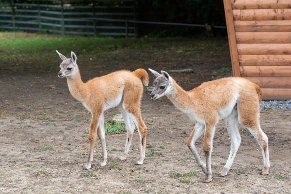 В Ростовском зоопарке на свет появились малыши гуанако. Фото: ростовский зоопарк