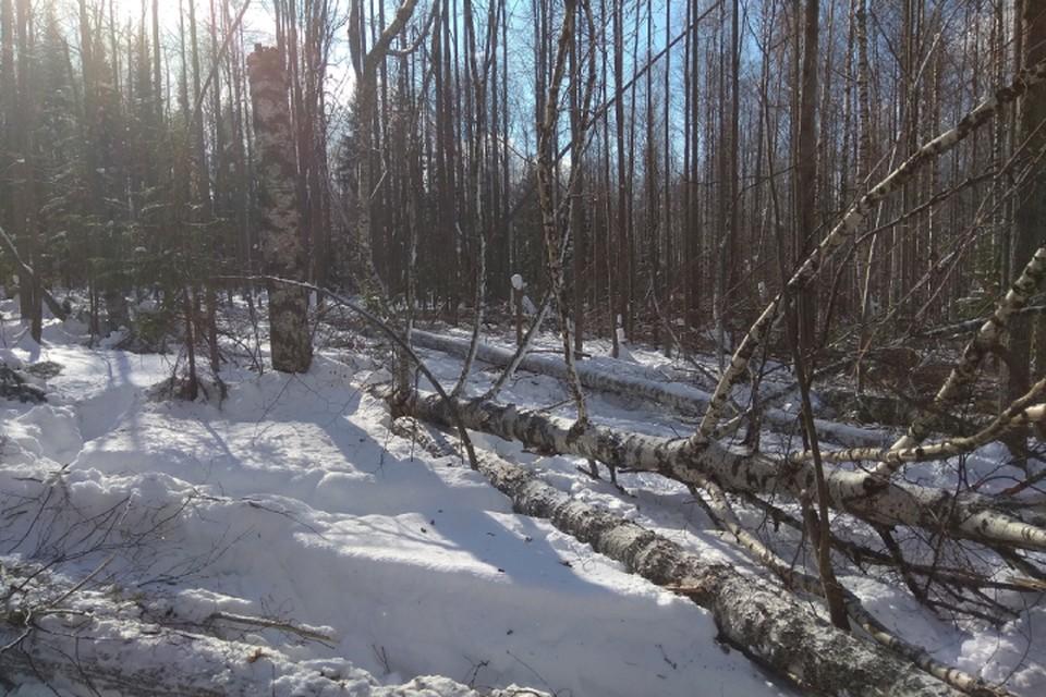 Трагический инцидент произошел во время вырубки леса в Омутнинском районе. Фото: СУ СКР по Кировской области