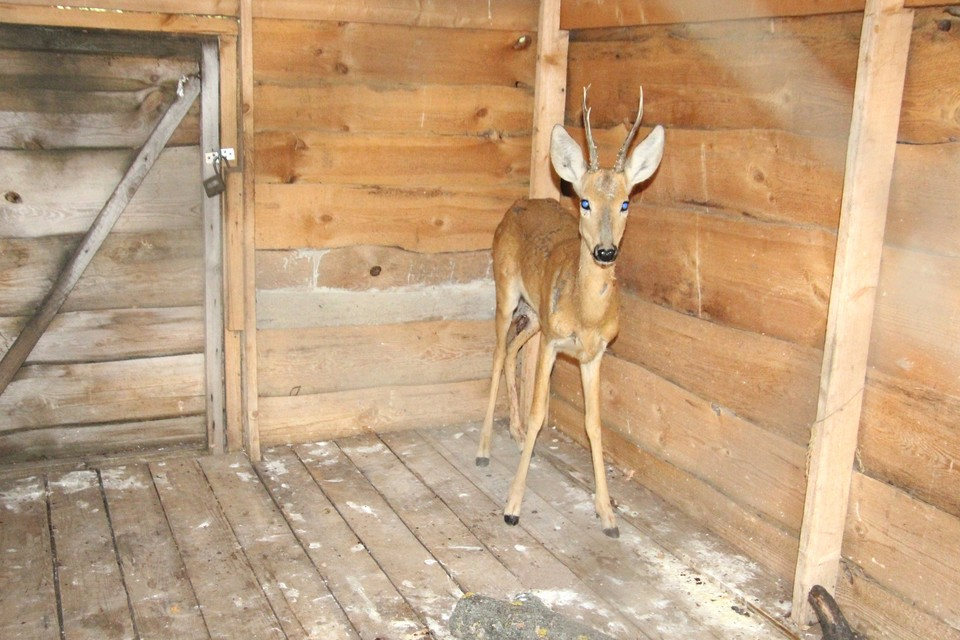 Сейчас пострадавшее животное находится под наблюдением специалистов. Фото: Национальный парк Самарская Лука