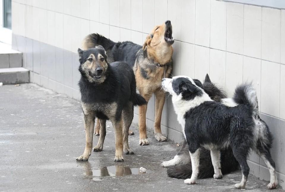 В Перми бездомная собака напала на мальчика.