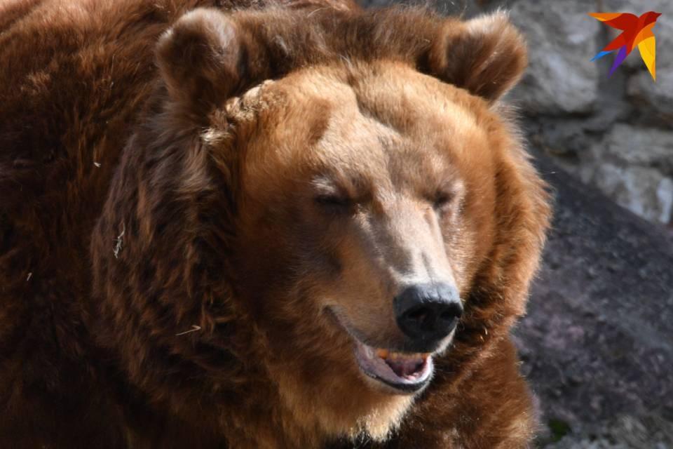 Двух медведей ликвидировали в Териберке, еще одного - в Кировске.