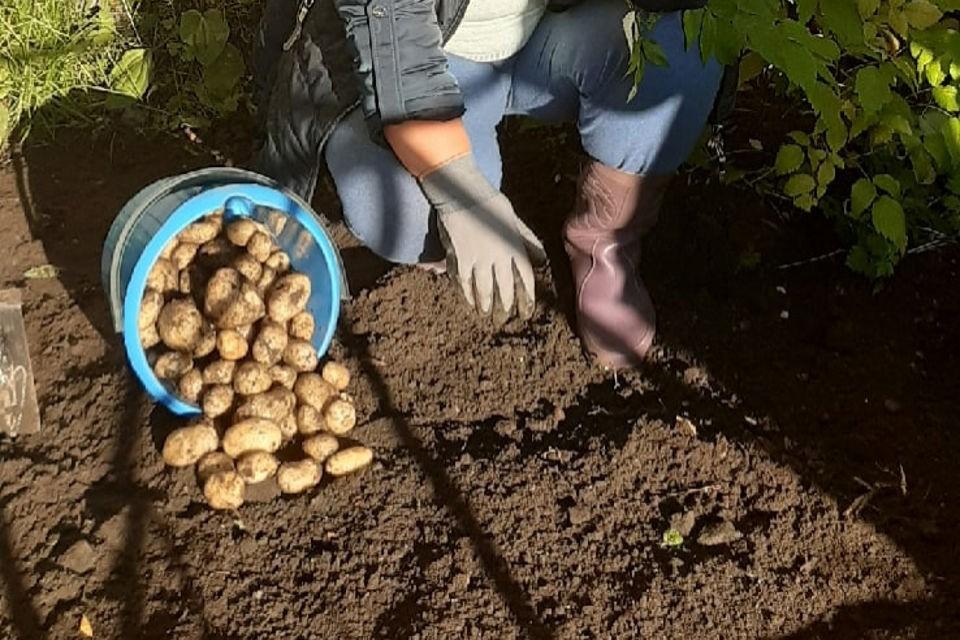 Картошке даже холод ни по чем! Фото: Вера Краснова