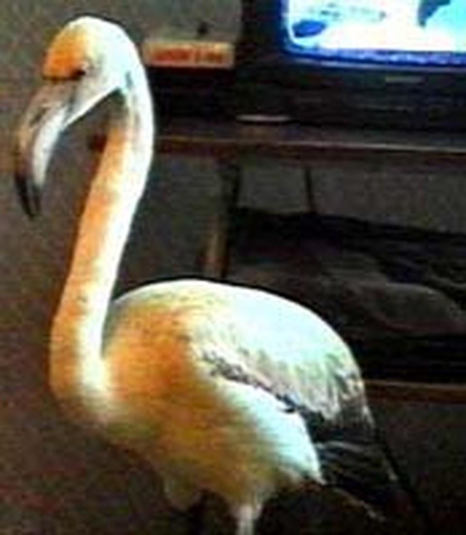 Фламинго лопает  в основном рыбу и гречневую кашу.