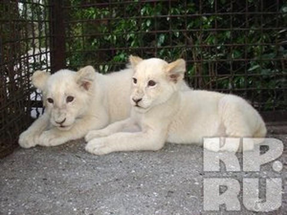 В Красноярск из Африки прилетели «чипованные» белые львы