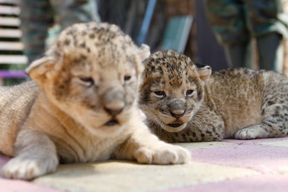 В зоопарке Ставрополе родились львята.