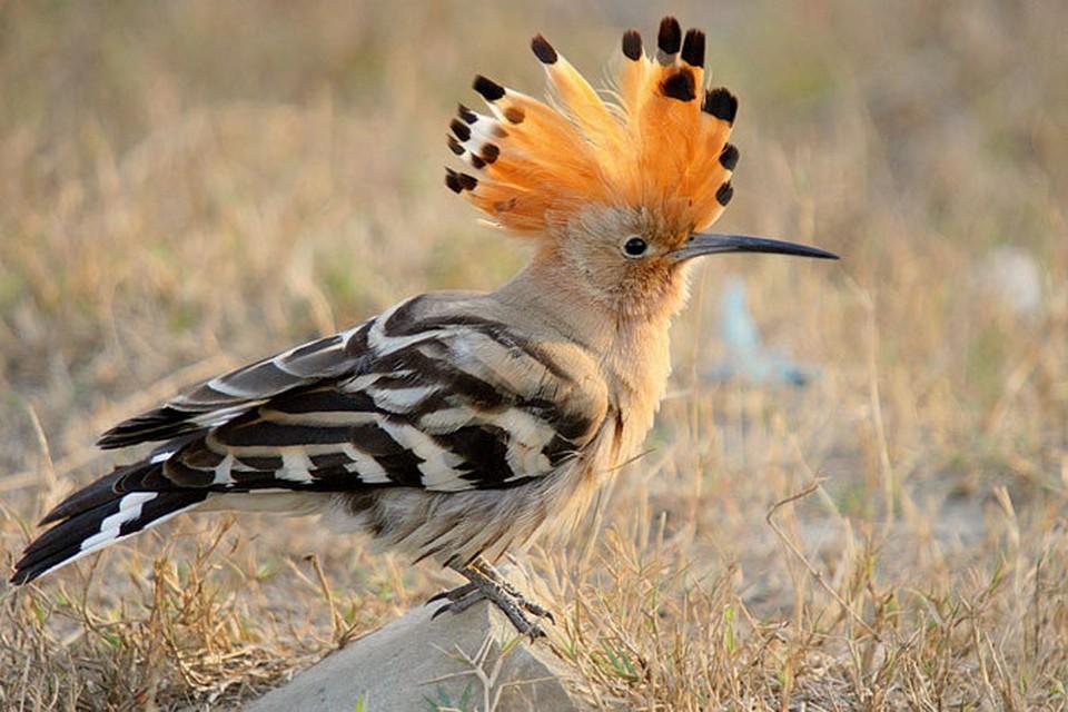В этом году орнитологи из трех птиц-претендентов - снегиря, серой куропатки и удода - выбрали последнего.