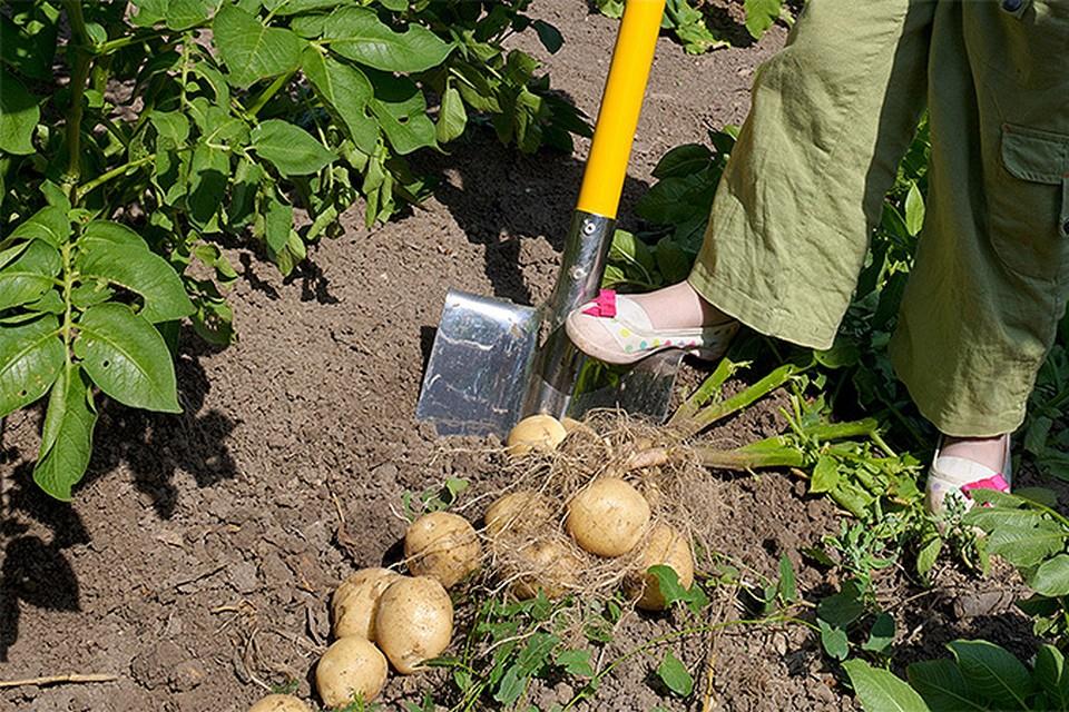 Именно на майские праздники огородники-энтузиасты сажают один из самых уважаемых и употребляемых овощей - картошку