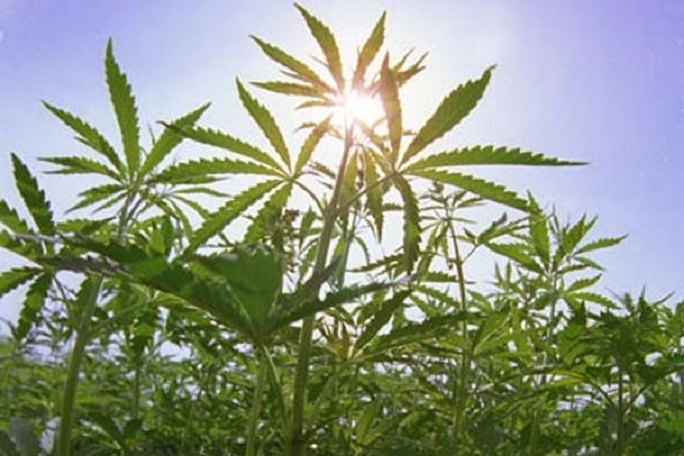 Ип конопля медицинское освидетельствование и марихуана