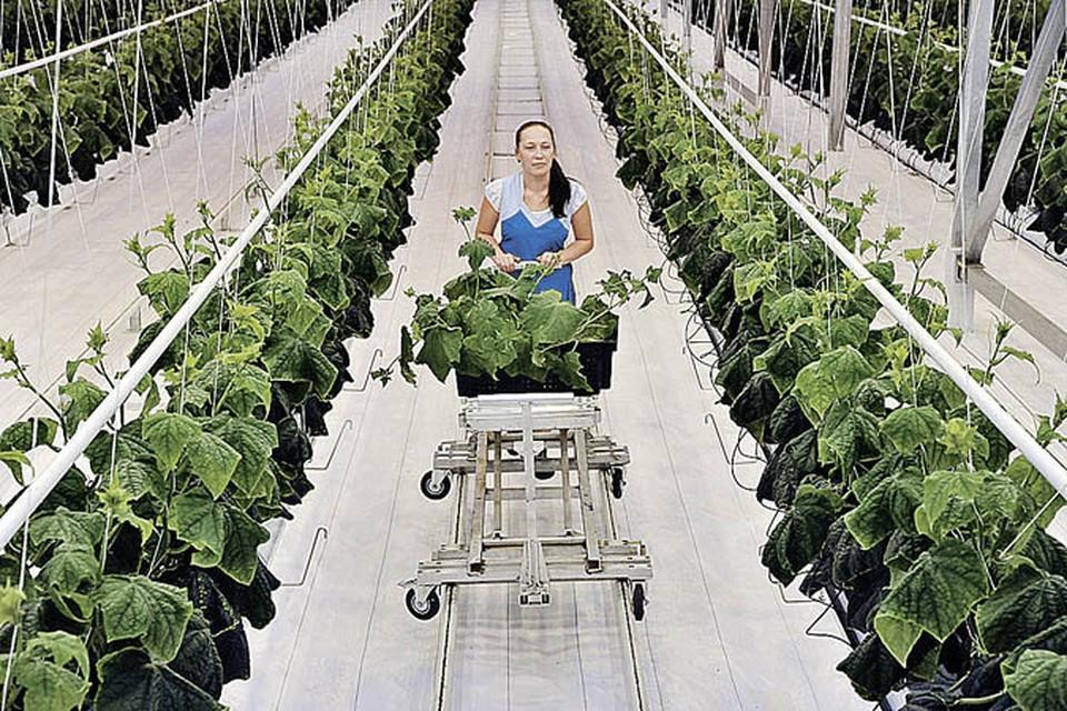 Тепличные овощи в России выращивать так дорого, что они считаются продуктами премиум-класса.