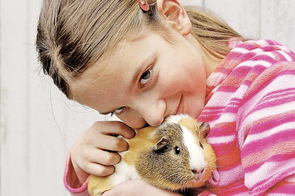 Морские свинки неприхотливы и любят общение.