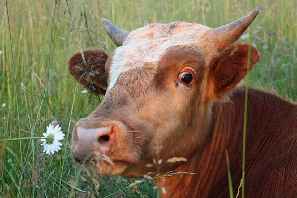 Прикольные картинки коровы картинки