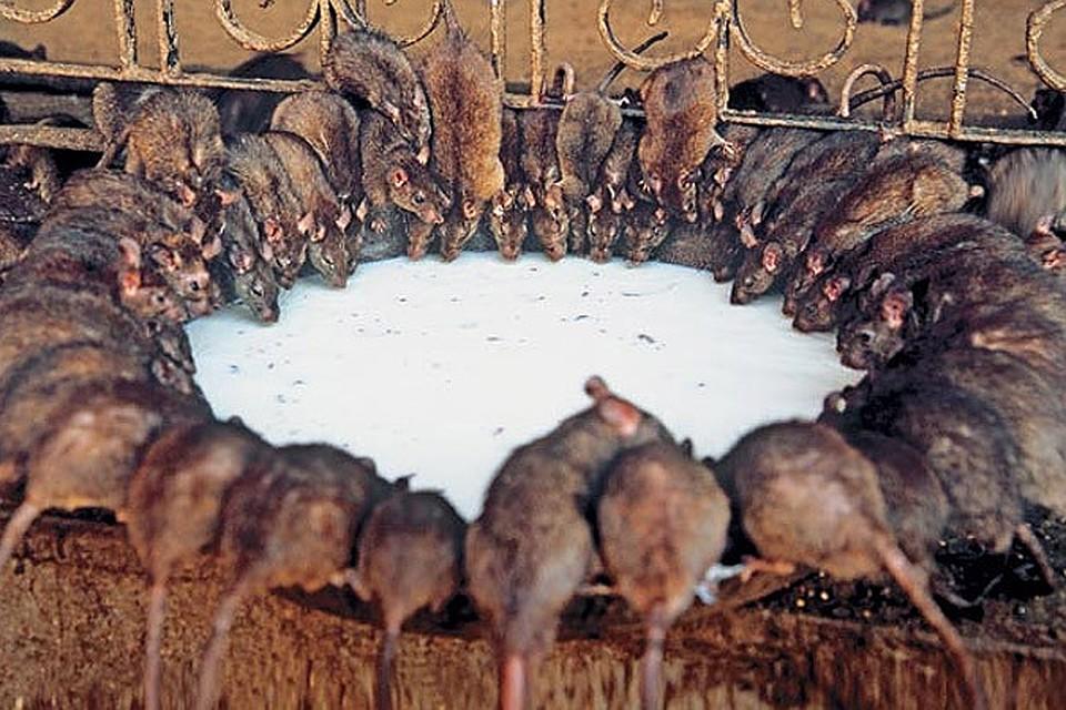 паникуешь, лениндград элеватор крысы кошки поле или