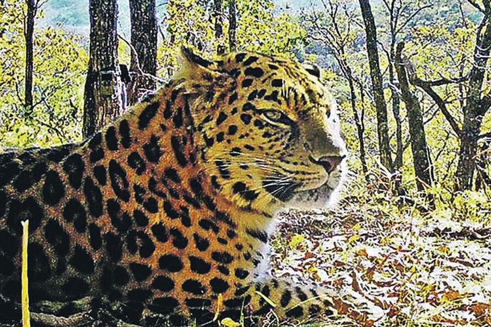 Вот этот красавец разгуливает по приморской тайге и знать не знает, что имя ему - Дерсу. Фото:  ФГБУ «Земля леопарда»