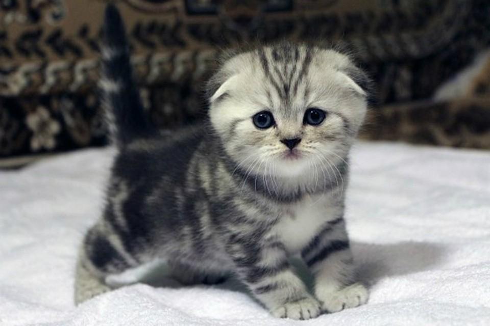 картинки маленькие котята вислоухие котята обрабатываемую