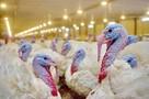 Жители Красносулинского района недовольны местом захоронения павших от птичьего гриппа индюшек
