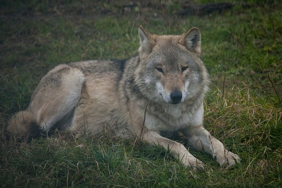 Волки занимаются сексом