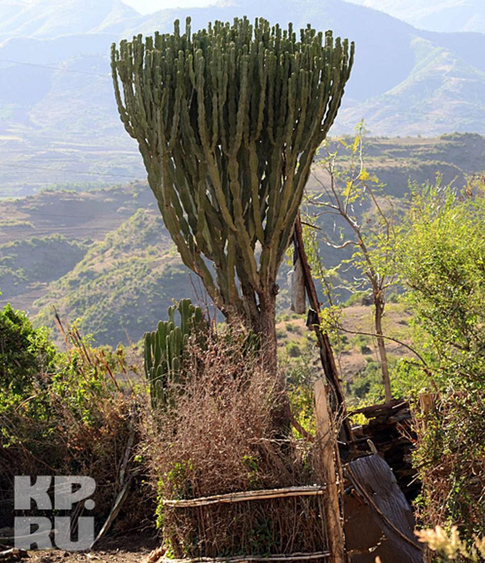 Ядовитый кактус дерево