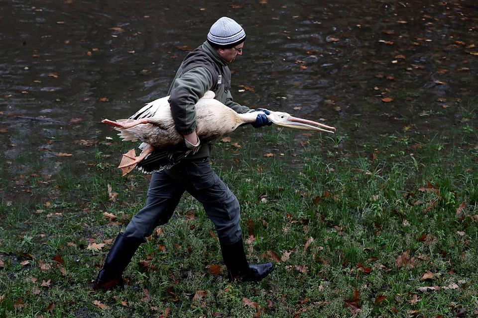 Пеликанов в зоопарке чешского Либереца перемещают в теплые вольеры на зиму