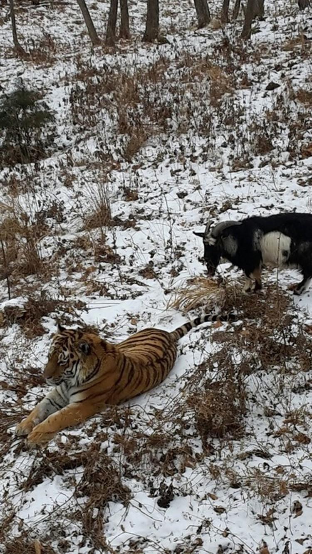 Тигр стал вожаком для козла. Фото: safaripark25.ru