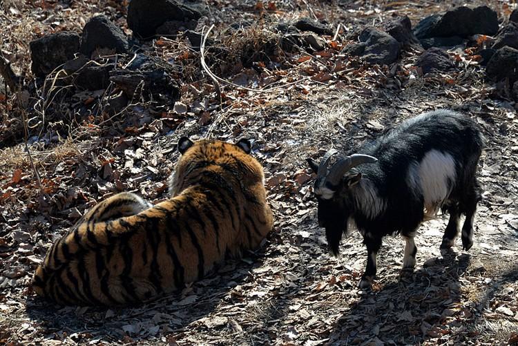Ну а если не справится, Олег пообещал Тимура не держать и отпустить домой. К любимому Амуру