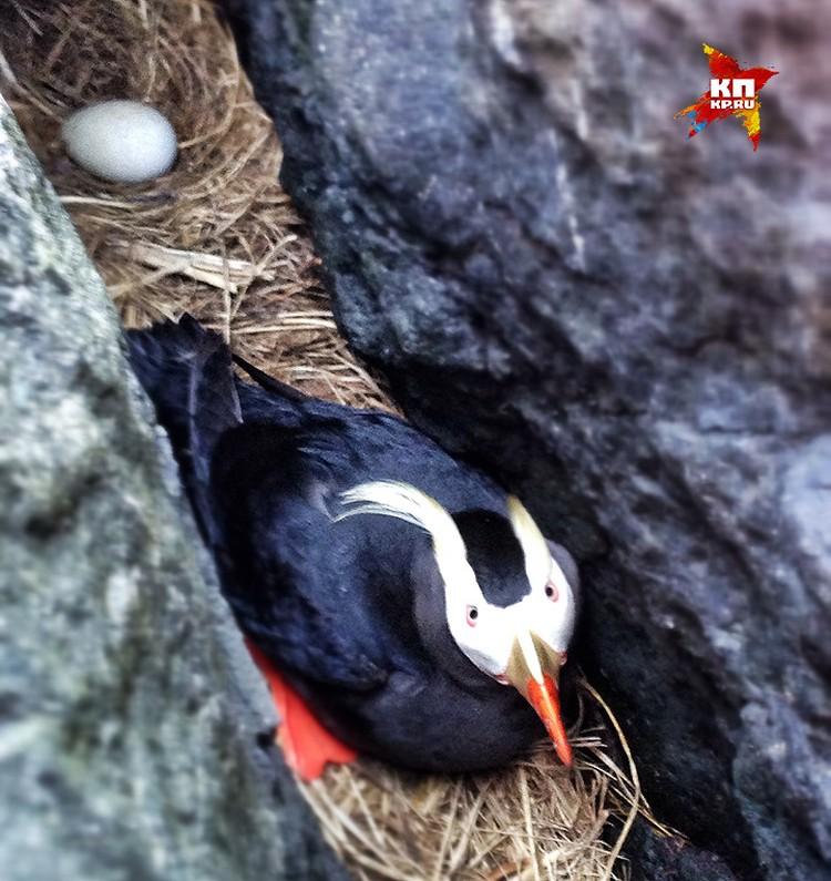 Птица топорок высиживает птенцов на острове Пескова.