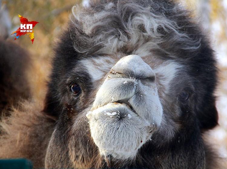 Верблюд Фараон собственной персоной.