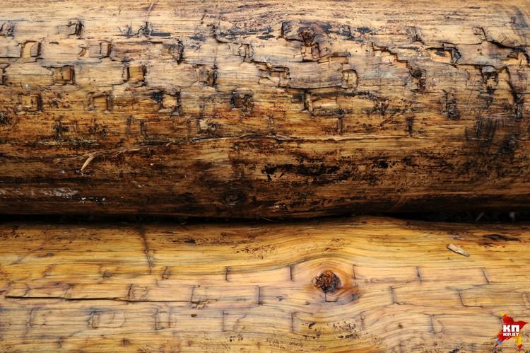 Деревья валят и обрабатывают харвестерами - на бревнах видны следы от их зубьев.