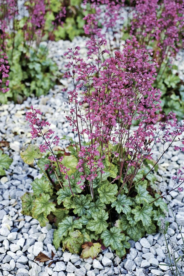 В садах обычно выращивают гейхеру кроваво-красную и ее многочисленные сорта.