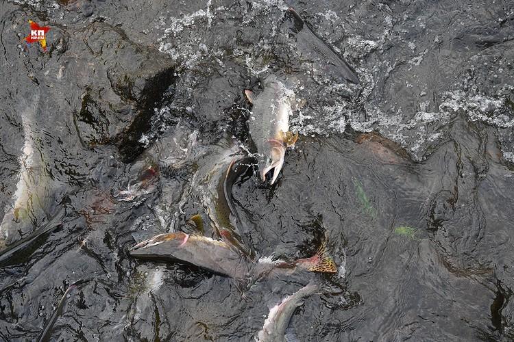 Час пик на реке Курилка