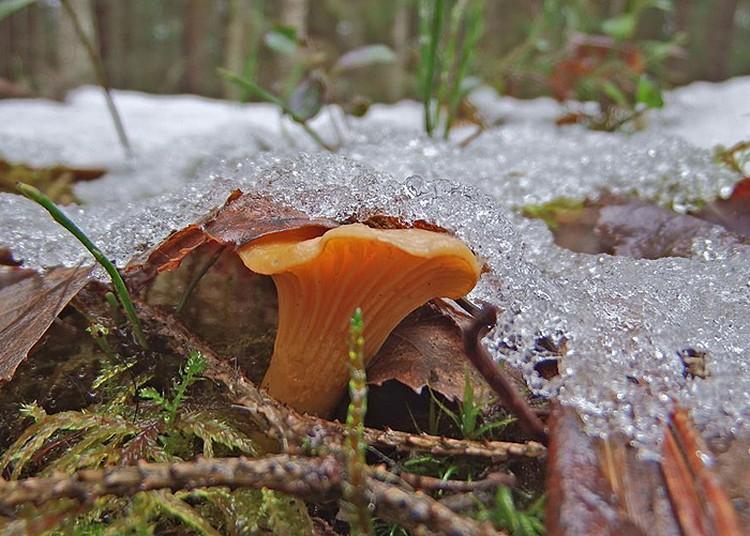 Из-за аномальных температур москвичи открыли внеочередной грибной сезон в новогодние праздники. Фото: Иван Матершев