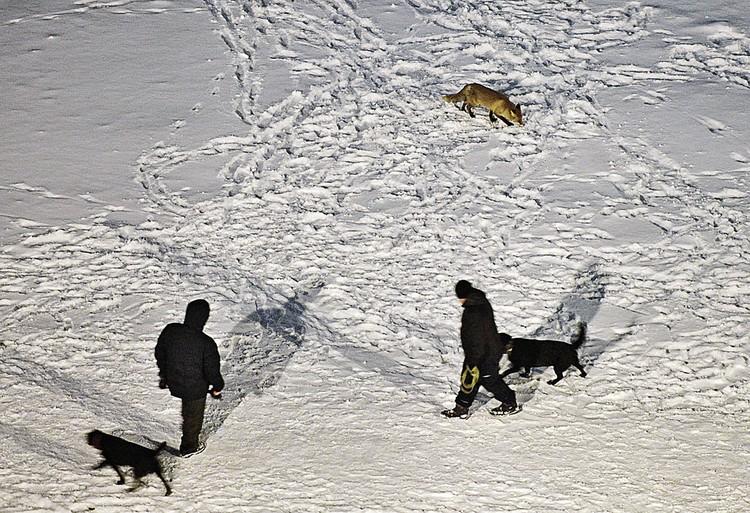 К рыжей соседке привыкли уже и люди, и даже собаки.