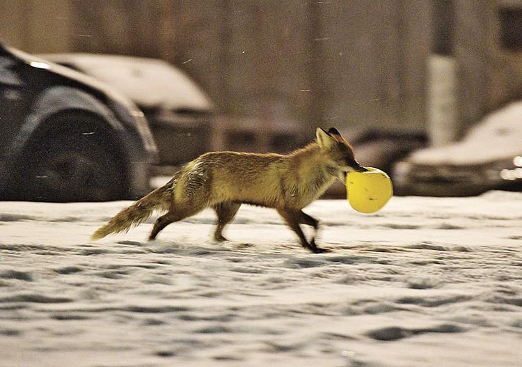 Патрикеевна где-то стащила шарик и долго с ним игралась.