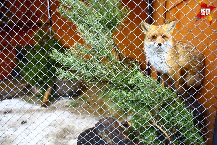 Вольер для лисы обыкновенной должен быть просторным