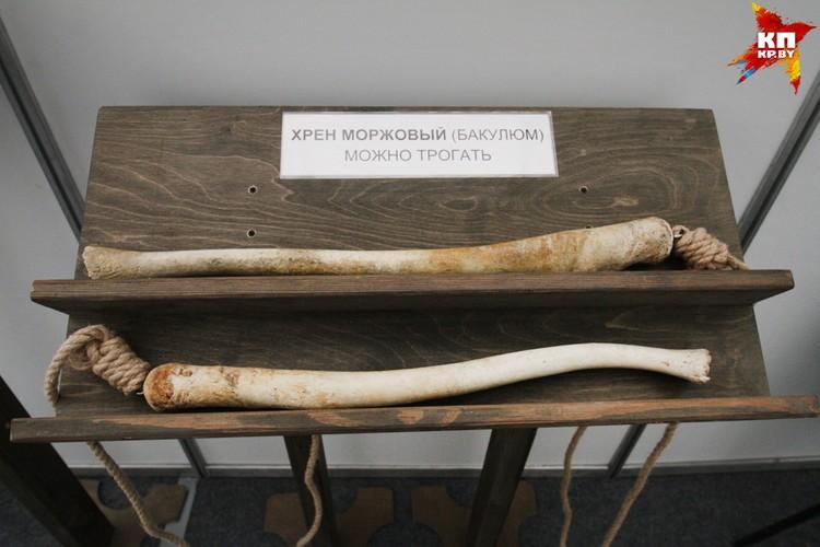 Тот самый «Хрен моржовый», о котором многие слышали, но мало кто видел. Фото: Микита НЕДАВЕРКОВ