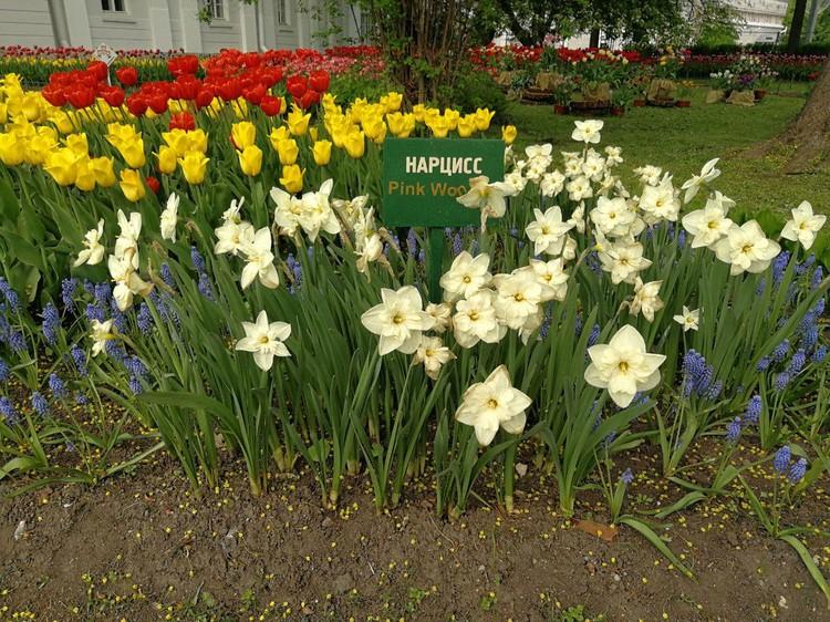 Скромное обаяние нарциссов поблекло на фоне ярких тюльпанов.