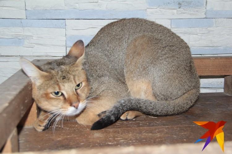 Папа этой красавицы камышовый кот